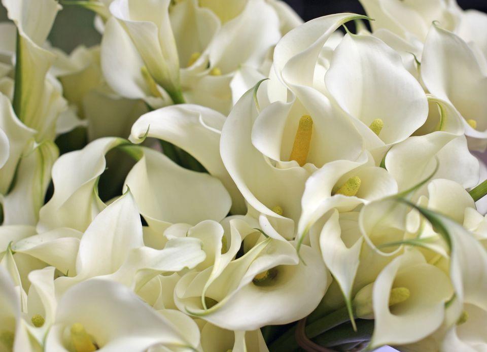 Calla Lillies (Zantedeschia aethiopica)