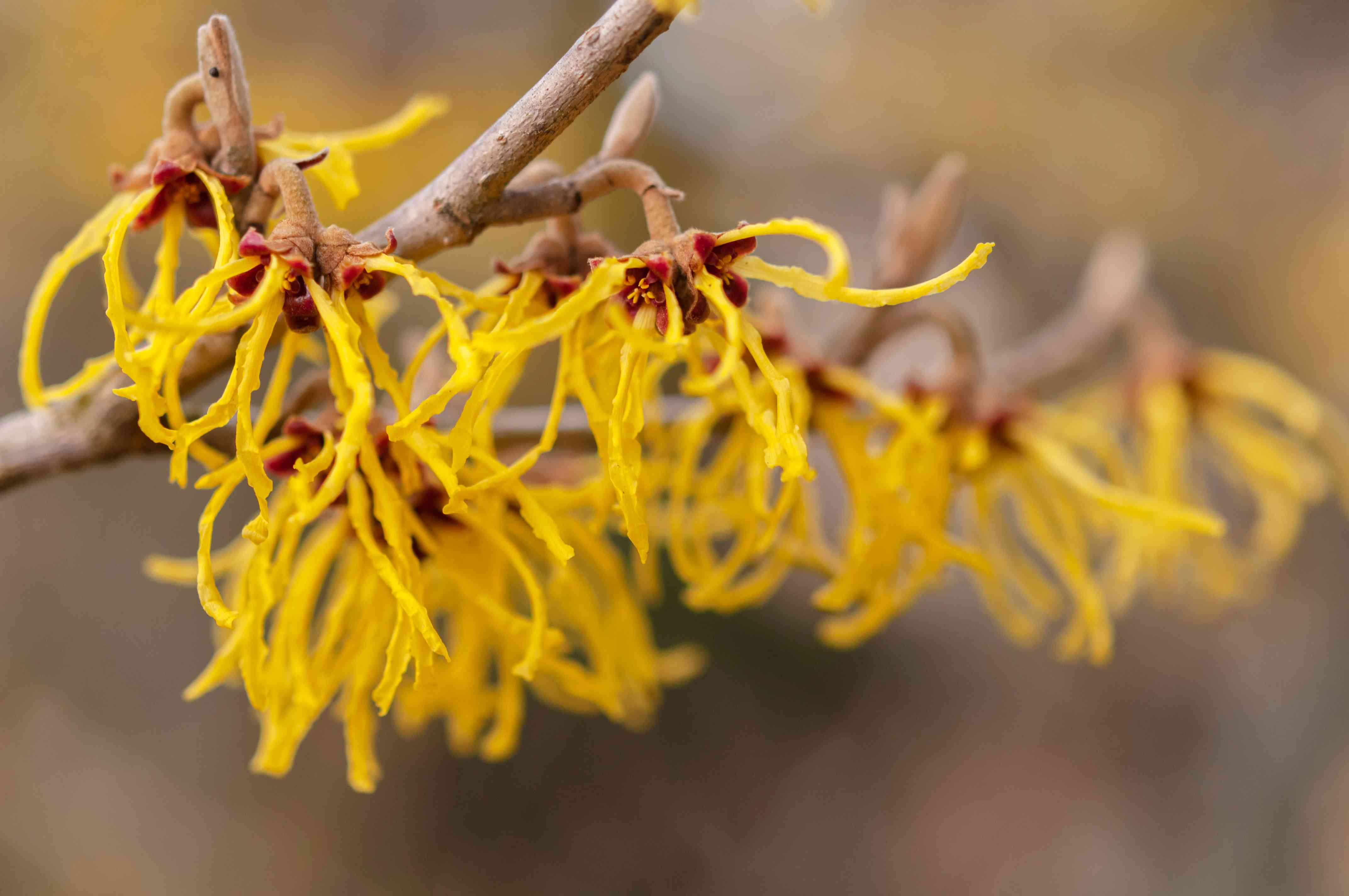 Vernalis witch hazel branch with yellow stringy flowers closeup