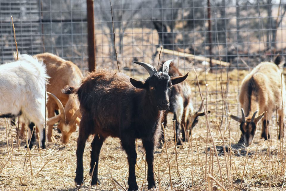 Dark brown goat with small horns in front of grazing goats and wired fence