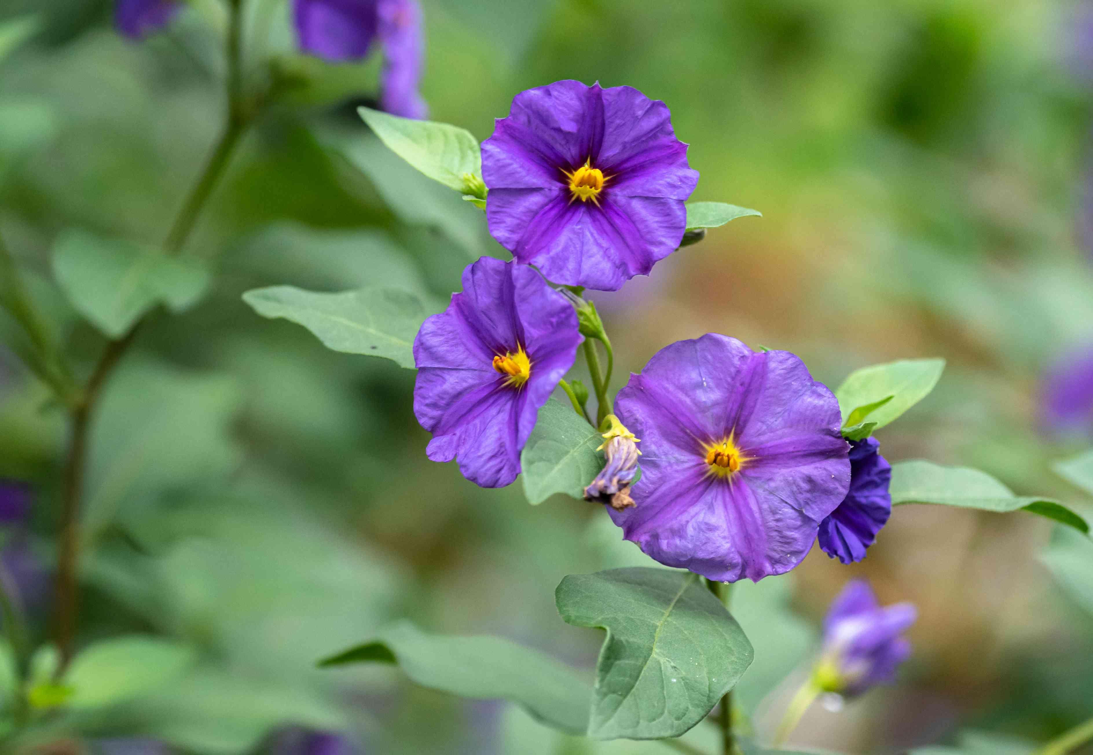 Blue potato bush plant with purple-blue flowers closeup