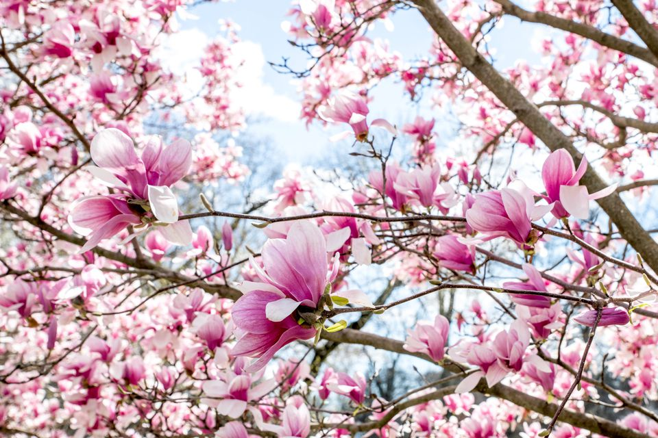 Magnolia trees with white and pink flowers blooming on branches closeup