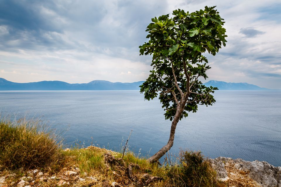 A fig tree next to a cliff by the coast.