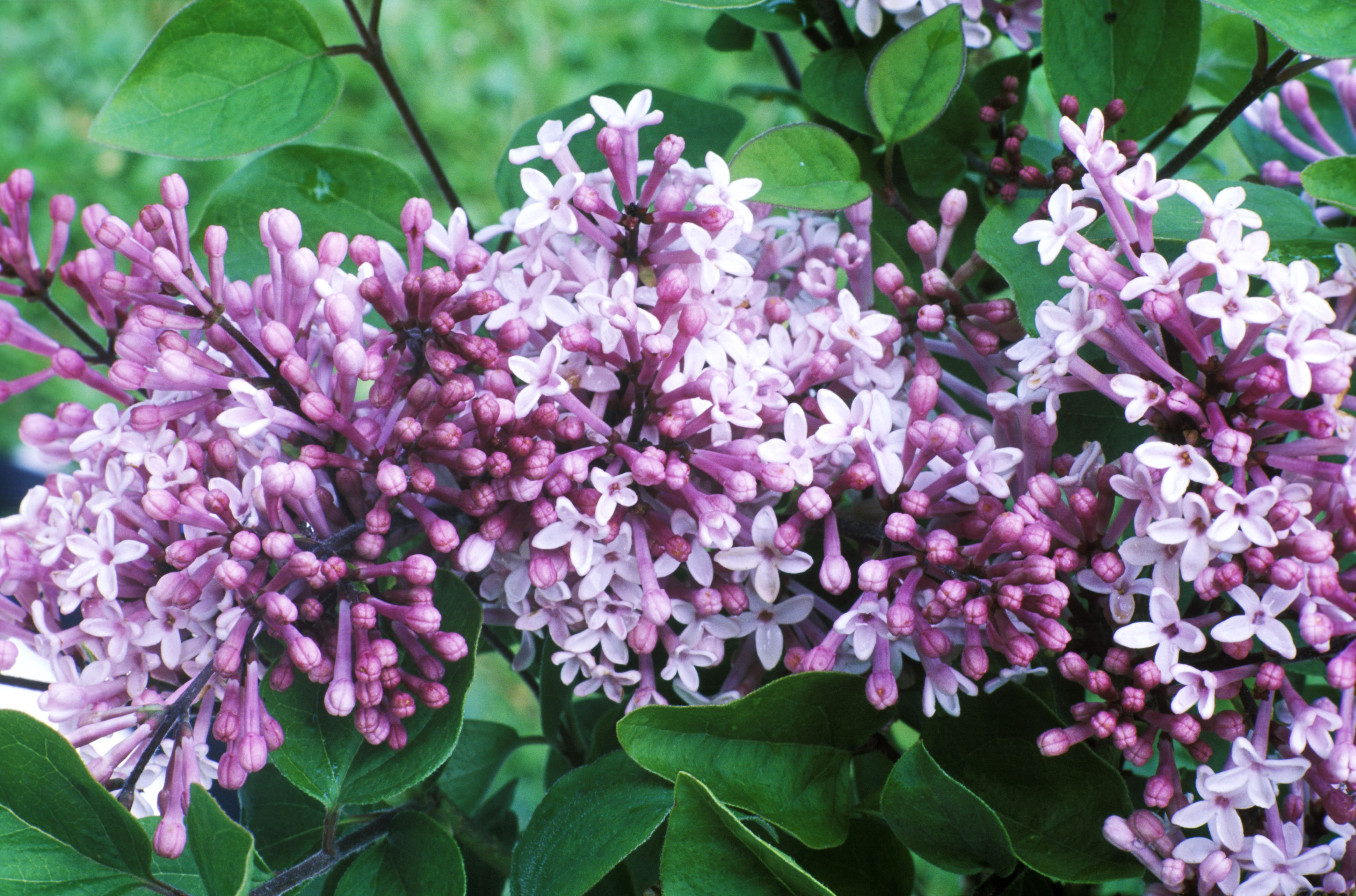 The Palabin lilac with purple flowers