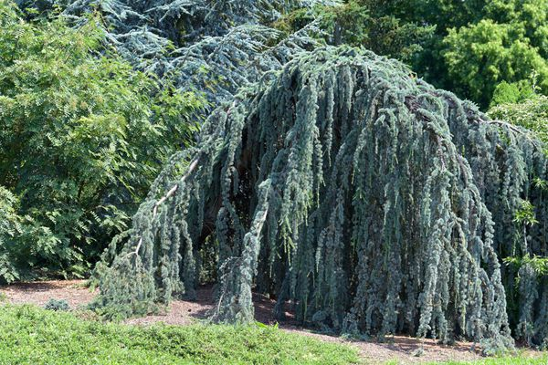 Atlas cedar tree with long drooping branches with whorls of powdery blue needles