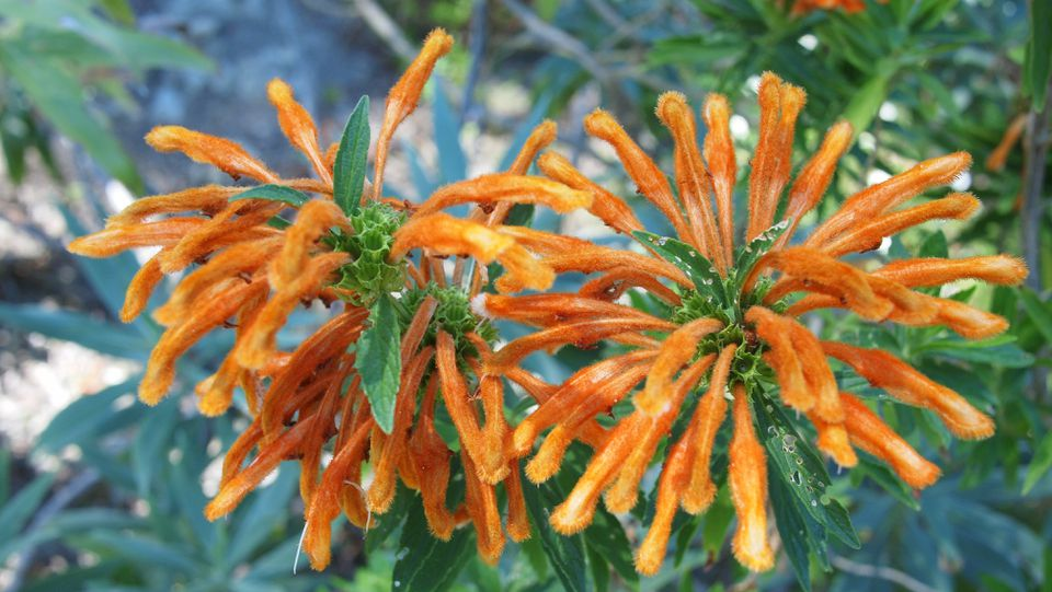 Flowers of wild dagga, lion's tail