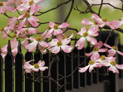 beautiful dogwood branches in large glass vase beautiful.htm 6 best dogwoods for your landscape  6 best dogwoods for your landscape