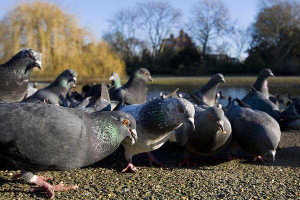Pest Bird Pigeons in a Park