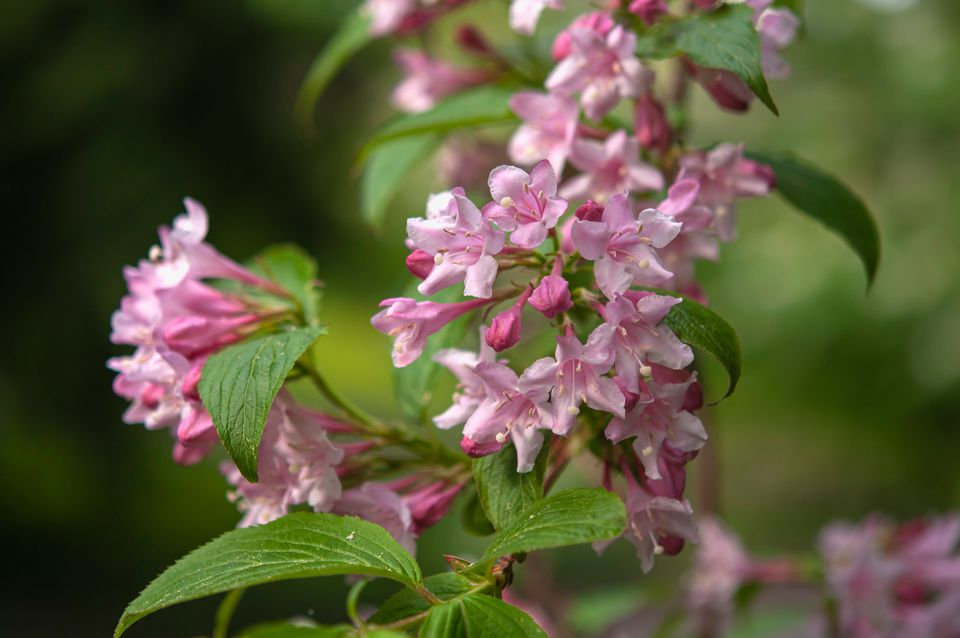 Weigela plant with small pink flowers and leaves
