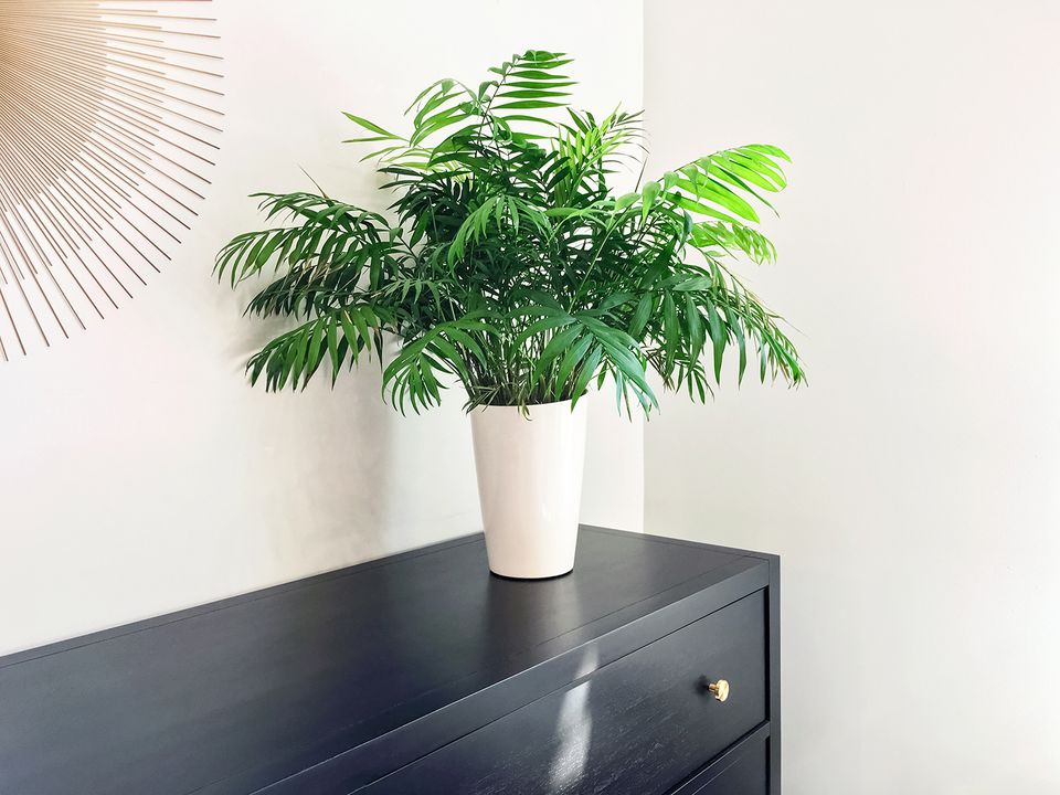 Parlor palm plant decorating black wooden dresser