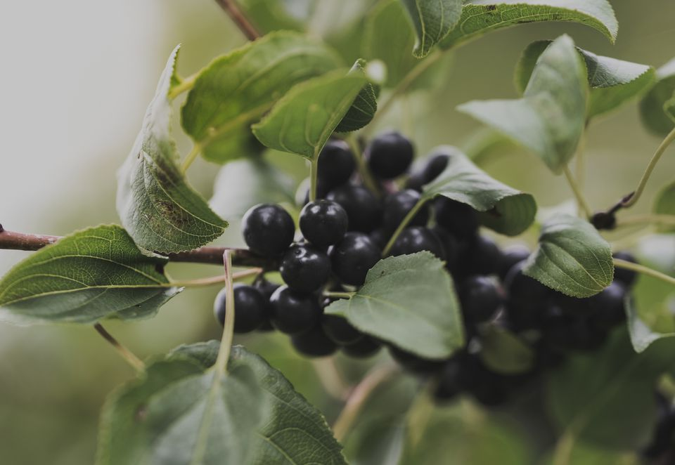 Close up shot of black huckleberries surrounded by leaves on a branch.