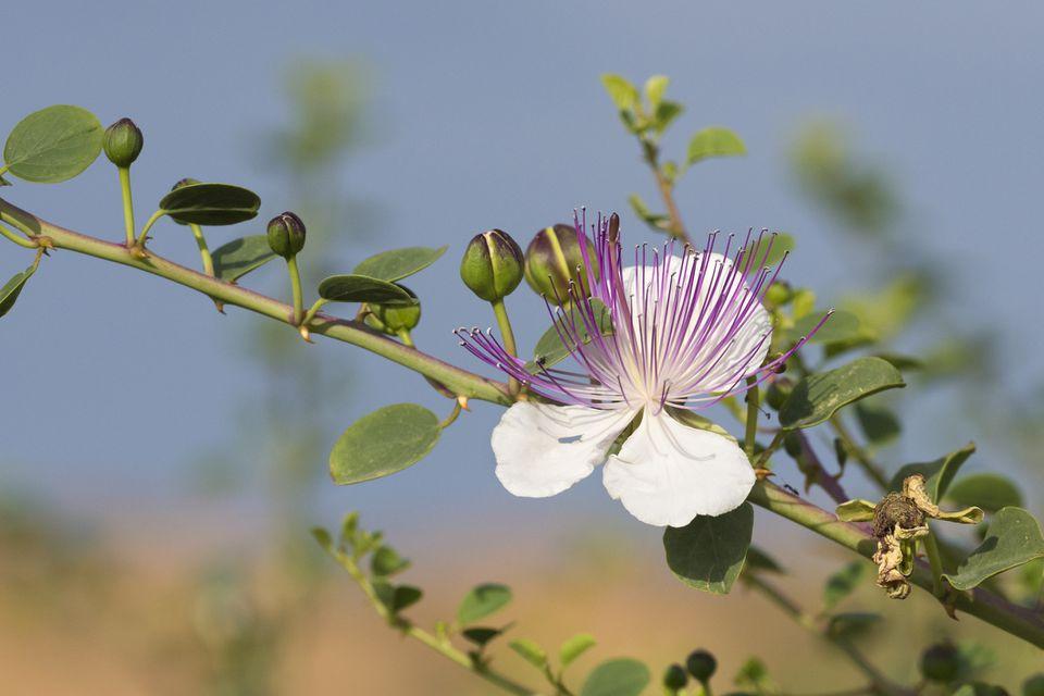 Caper Bush close up