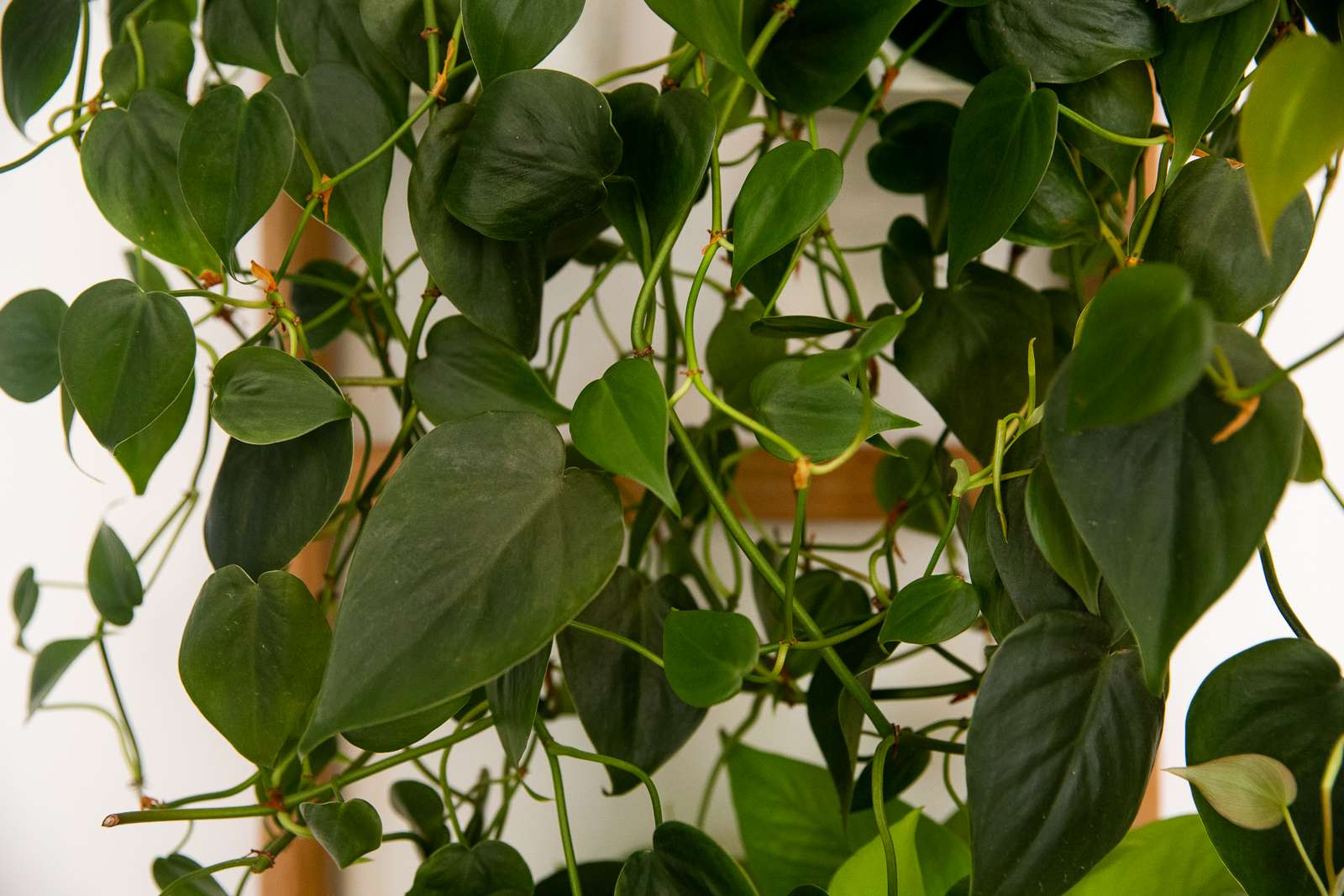 Heartleaf philodendron plant with dark green heart-shaped leaves hanging on vining stems
