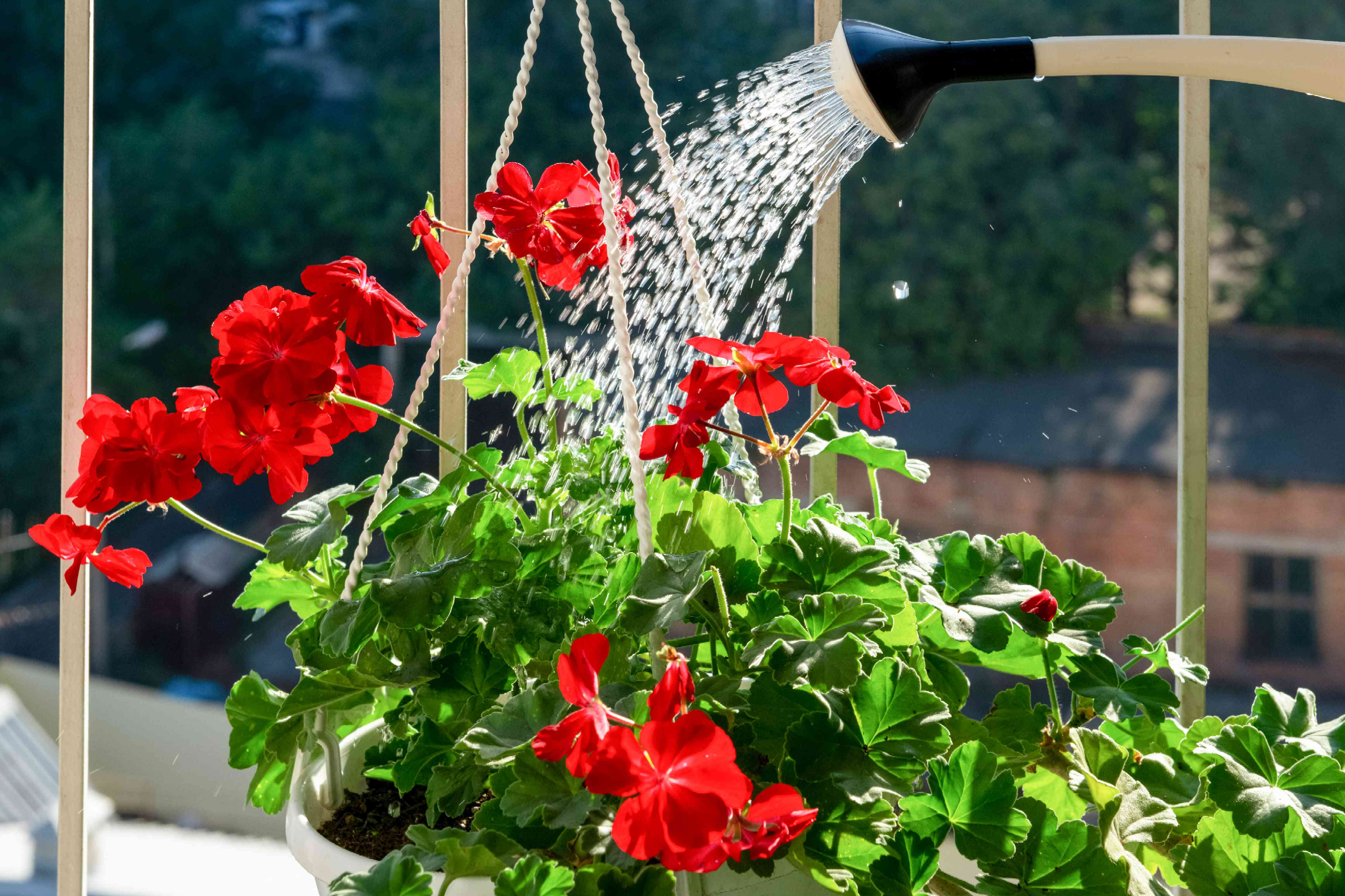 Hanging planter with red flowers being watered from watering can