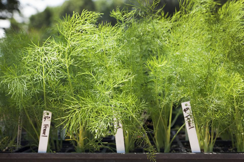 Fennel plant in a garden with markers