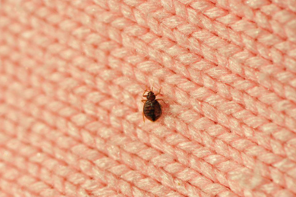 A single bed bug on a blanket fiber