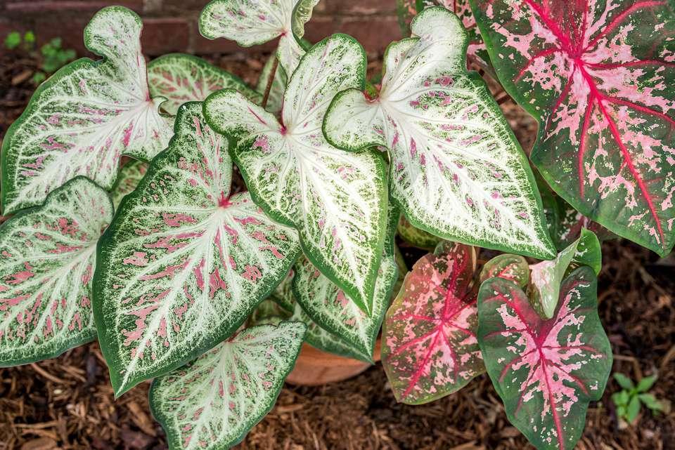 caladium foliage