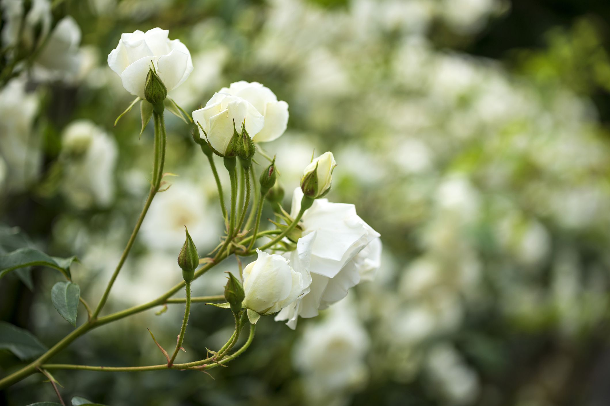 18 Best Roses For A Shaded Garden