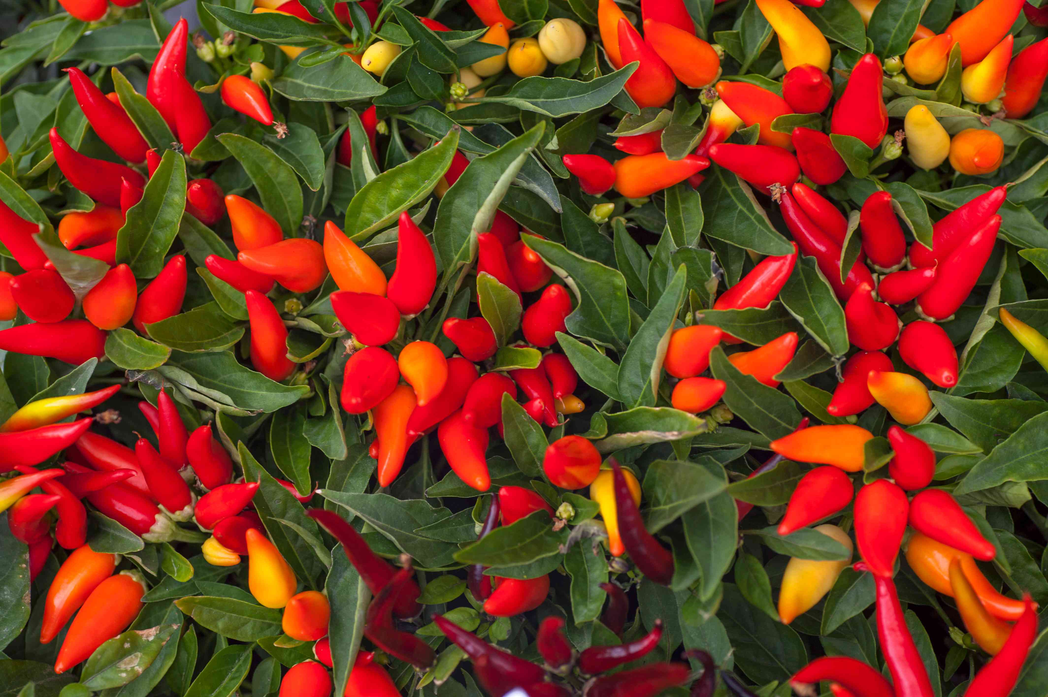 Ornamental pepper plant with pointed red and orange peppers clustered between long leaves