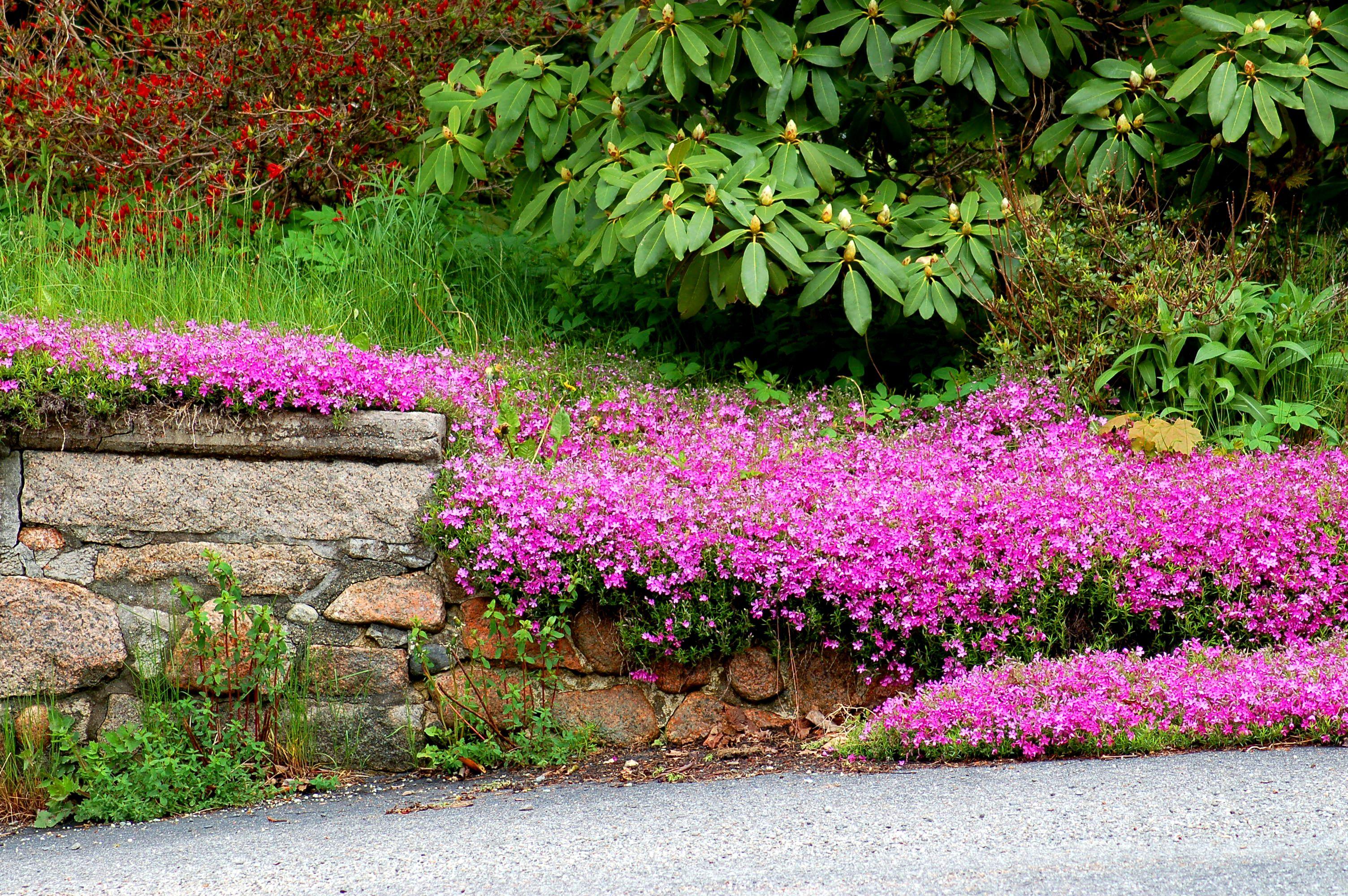 Purple creeping phlox growing near a stone wall.