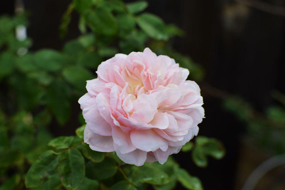 Rose bush with pink rose
