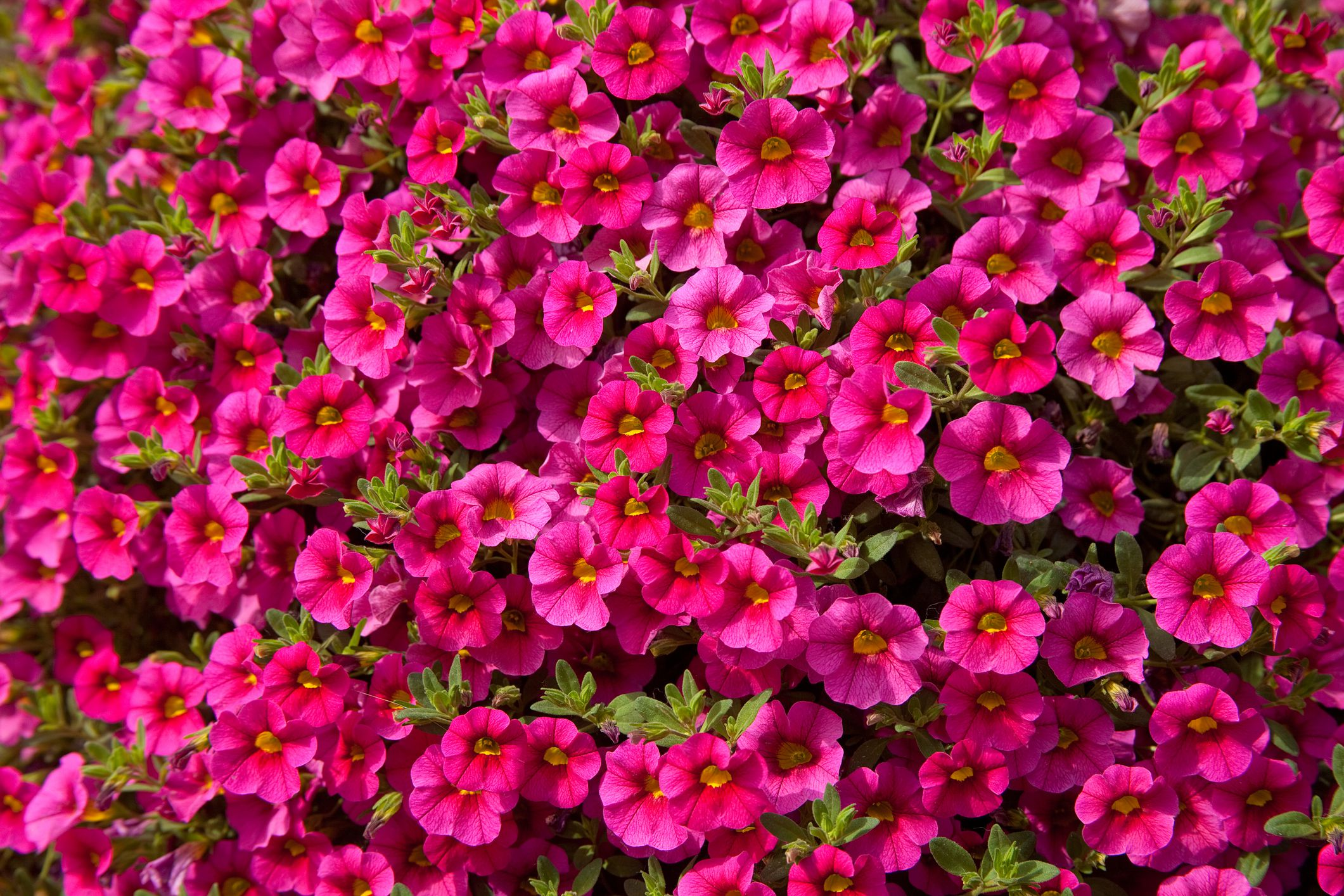 How To Grow And Care For Calibrachoa Million Bells Plants