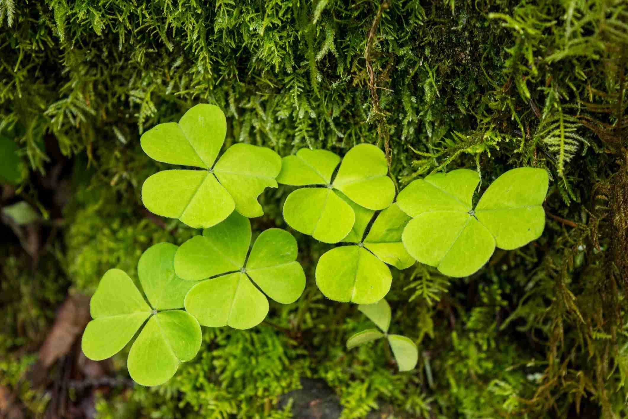 Hojas de hierba amarga en forma de trébol (Oxalis stricta )
