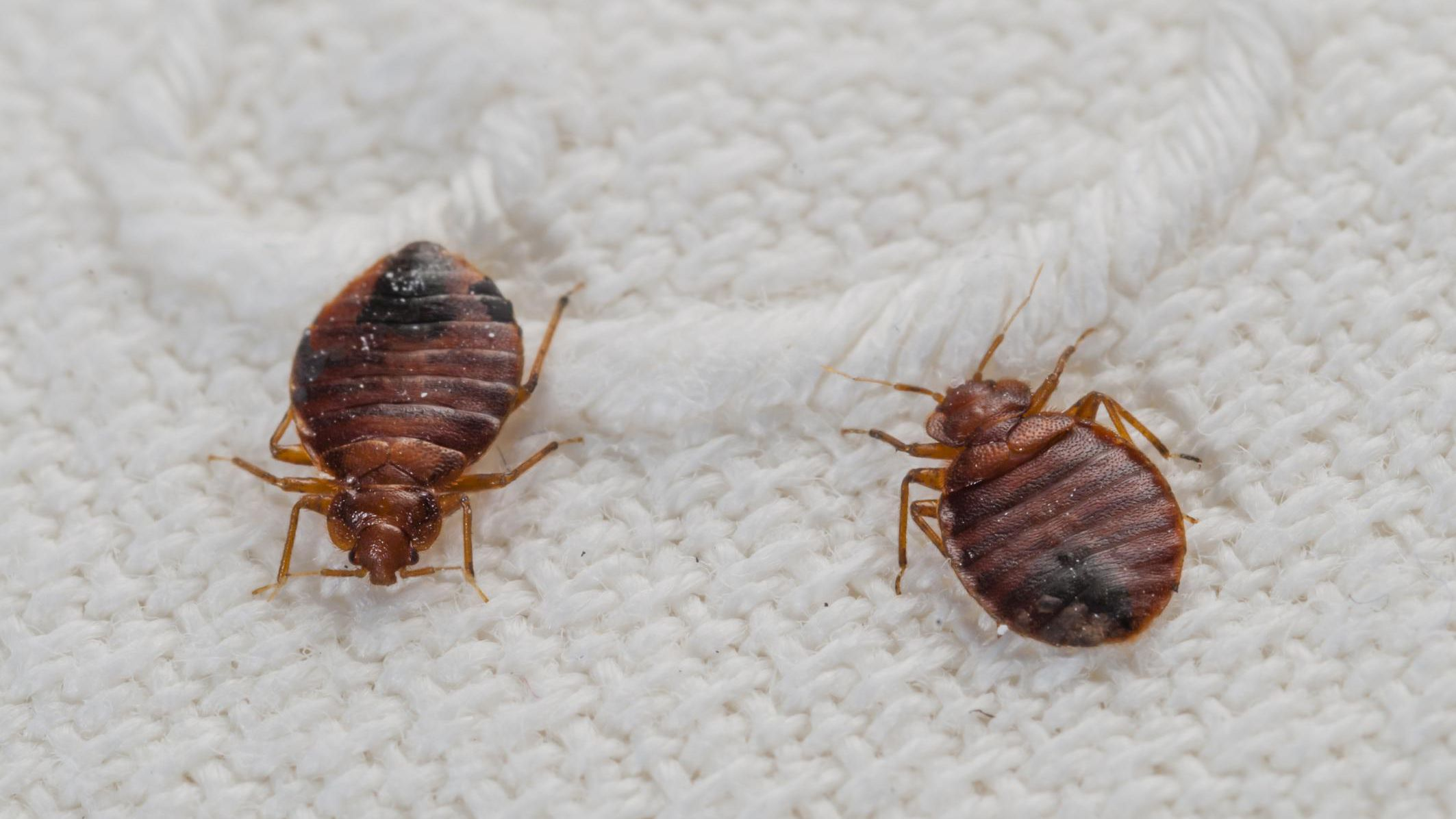 How To Wash Laundry Infested With Bedbugs