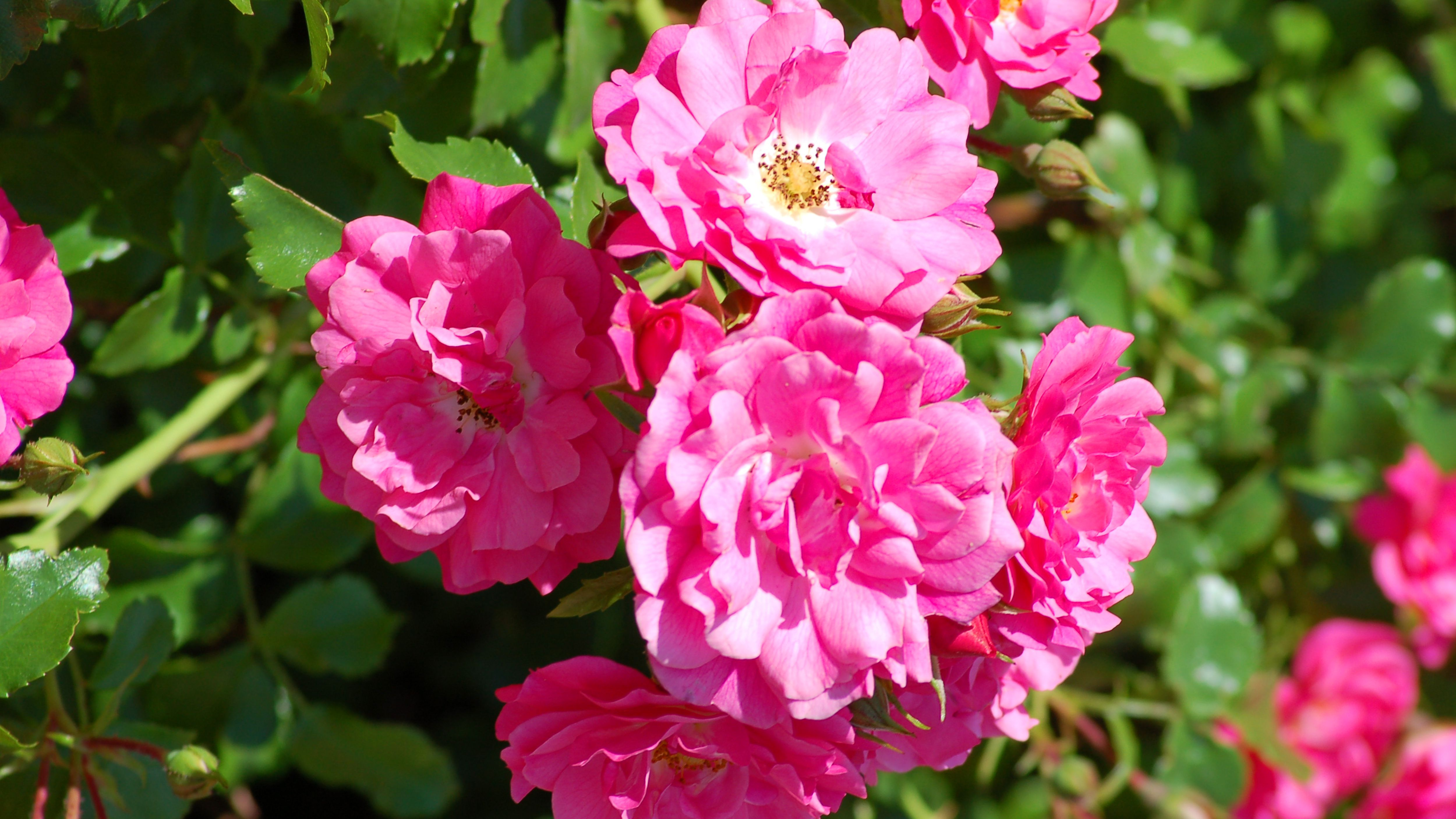 How To Grow And Care For Rose Bushes