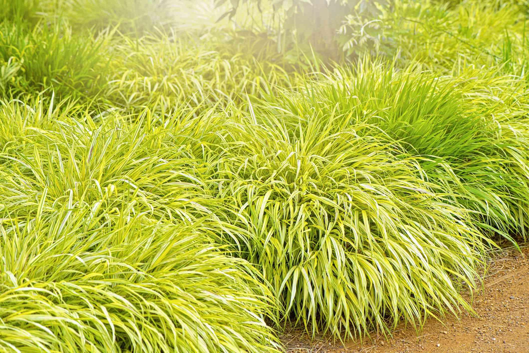 Garden bed of Hakone grass plants.
