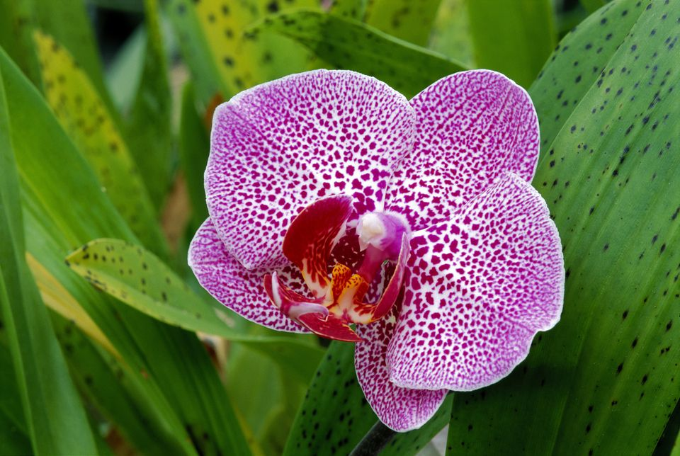 Closeup of purple and white large orchid on plant