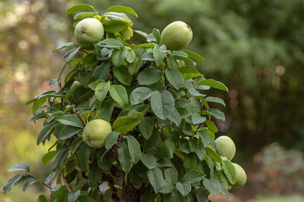 Quince tree with round green fruit growing