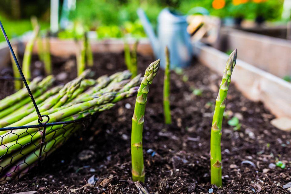 asparagus ready for harvest