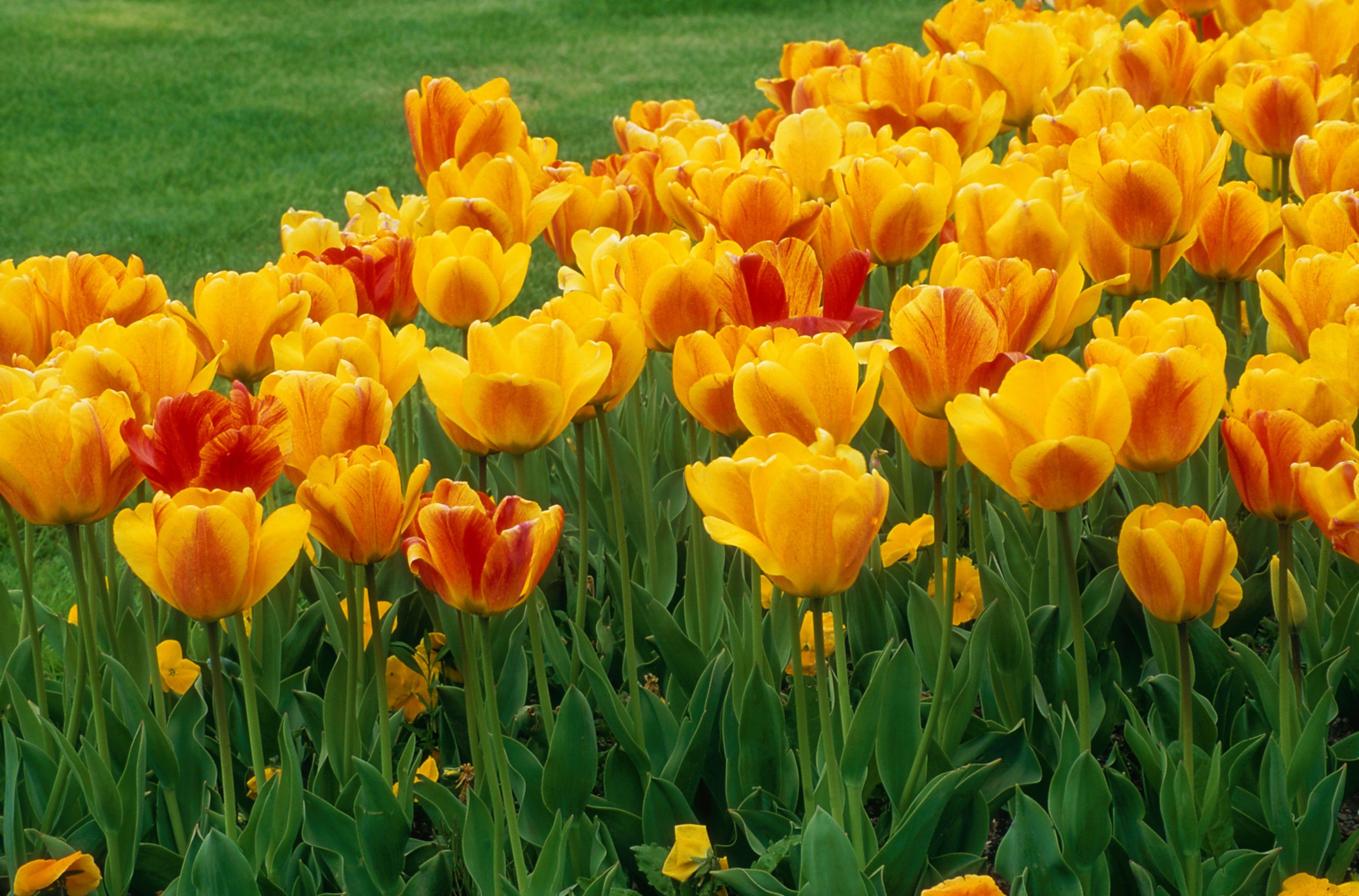 10 Tulip Varieties For The Spring Garden