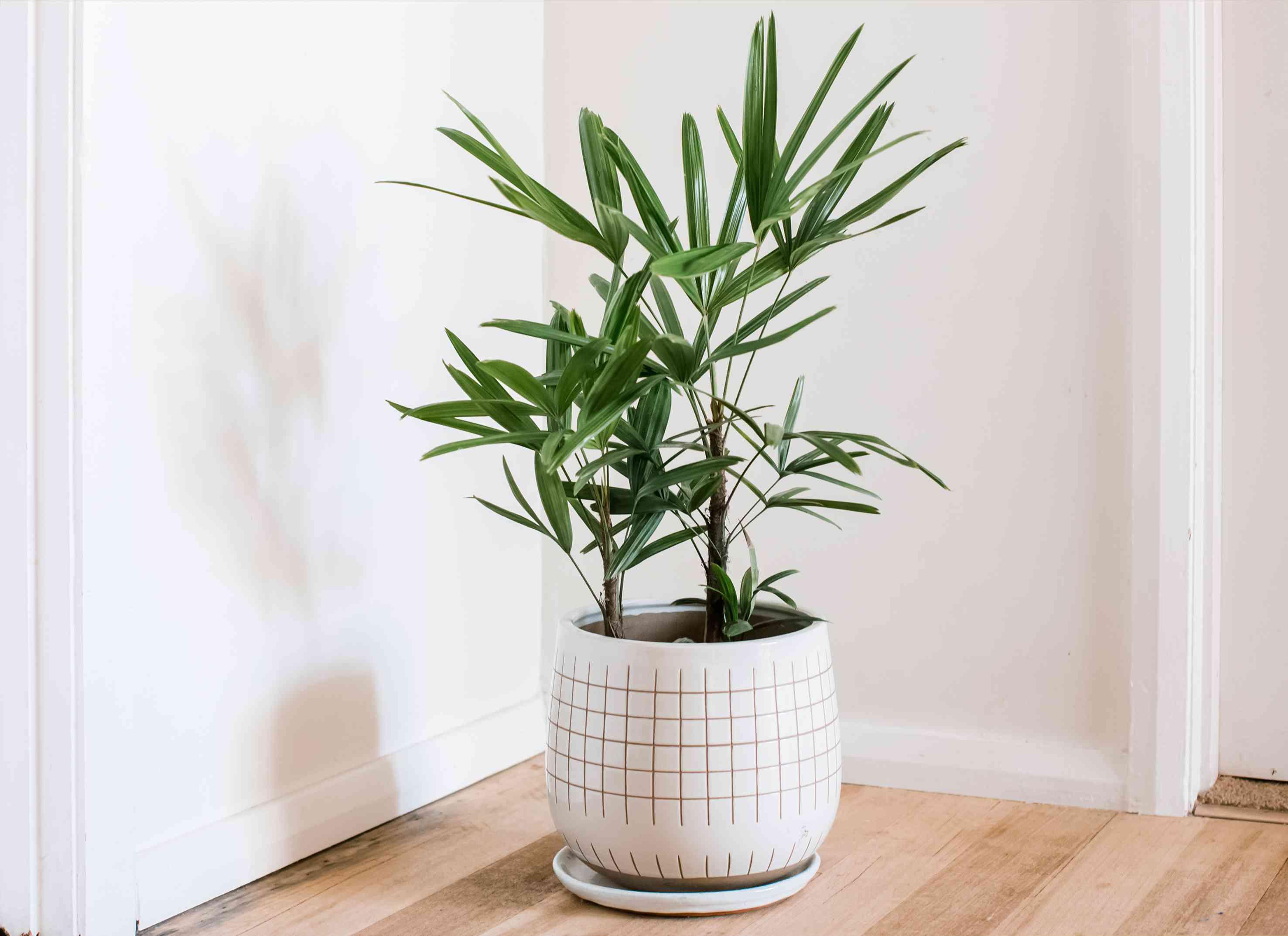 lady palm in a pot
