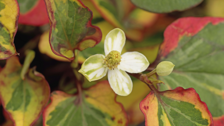 Chameleon plant, Houttuynia cordata 'Chameleon'
