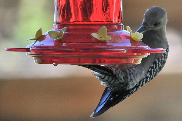 Gila Woodpecker at Hummingbird Feeder