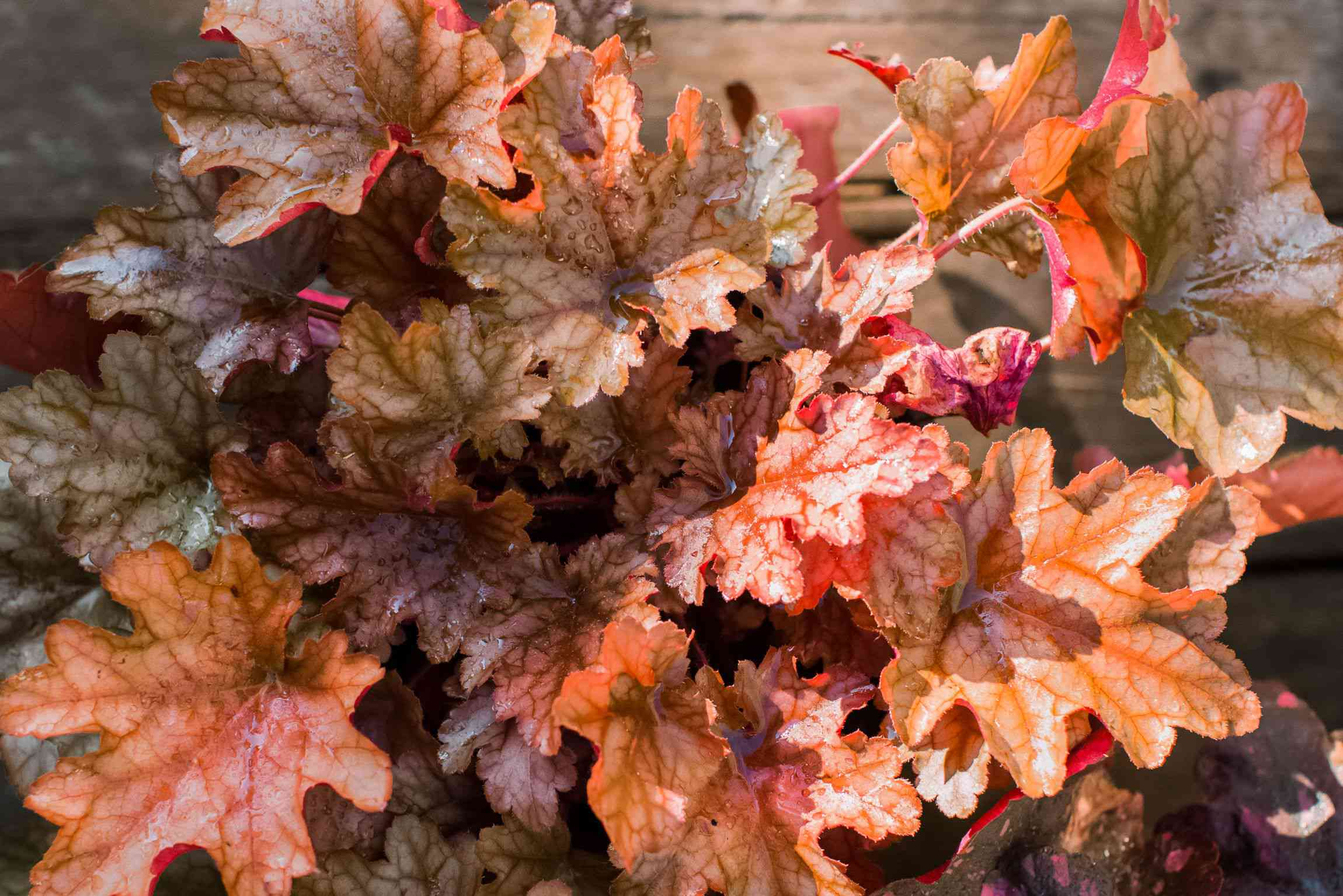 Coral bell foliage with brown, red and copper colored leaves in garden closeup