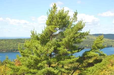 eastern white pine poster child for messy trees