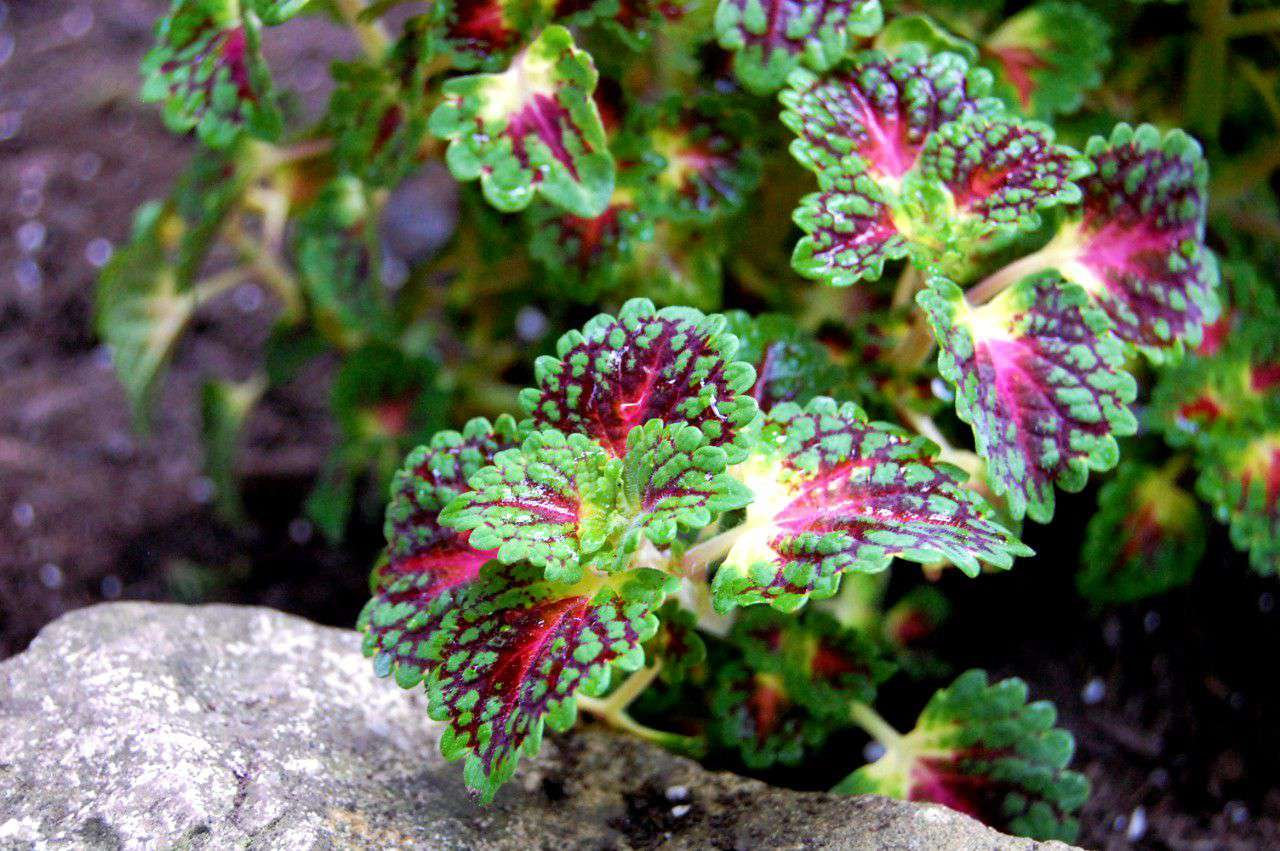 Coleus plant with bright green, pink and purple leaves in garden