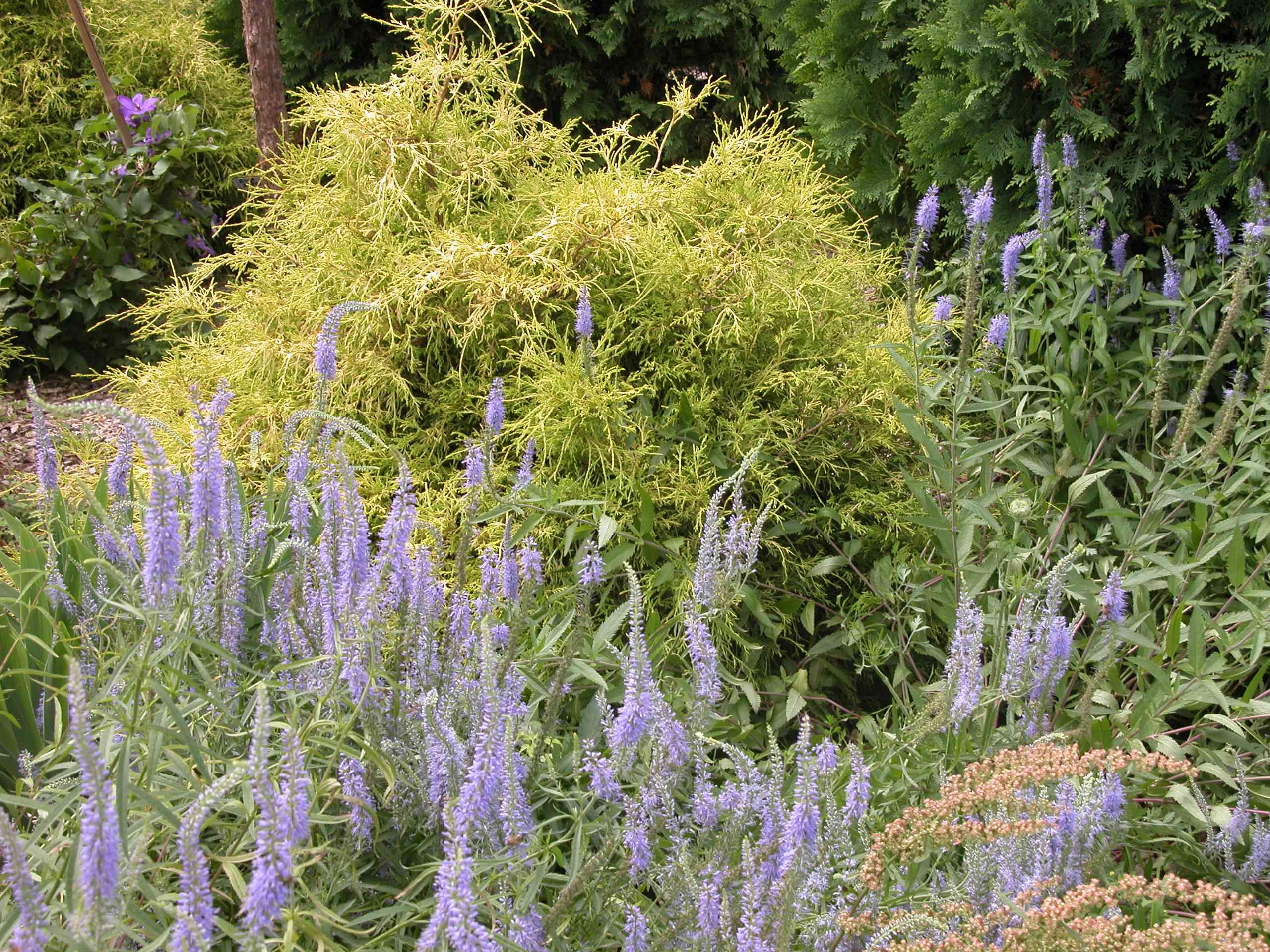 Light blue flowers among shrubs