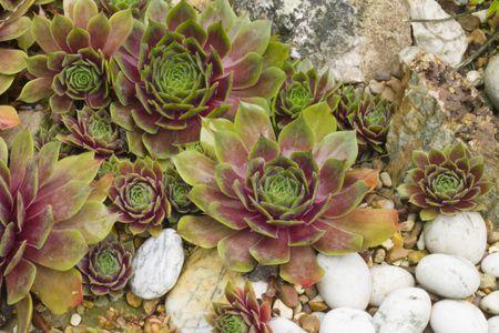 Sempervivum Hens And S In Rock Garden