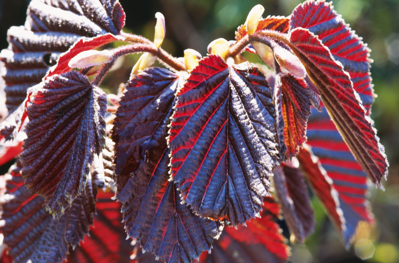corylus maxima purpurea, close up of purple crinkly leaves in bright sunlight, april
