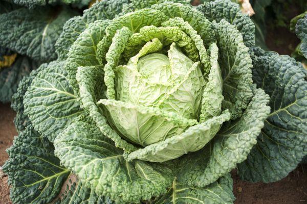 Savoy cabbage growing in vegetable garden