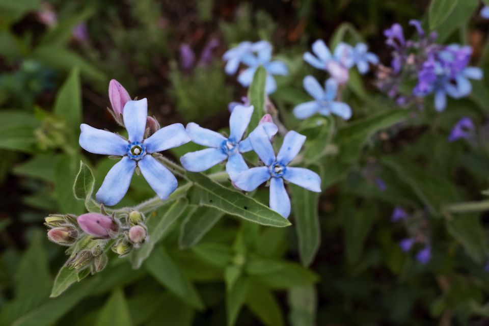 Star shaped blue flowers of tweedia caerulea planted outdoors.