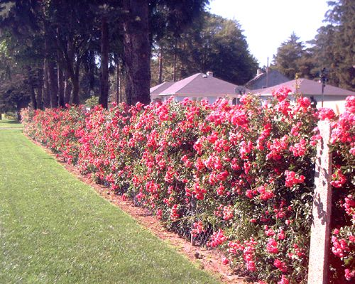 Picture of rose bushes grown so as to hide a chain-link fence.