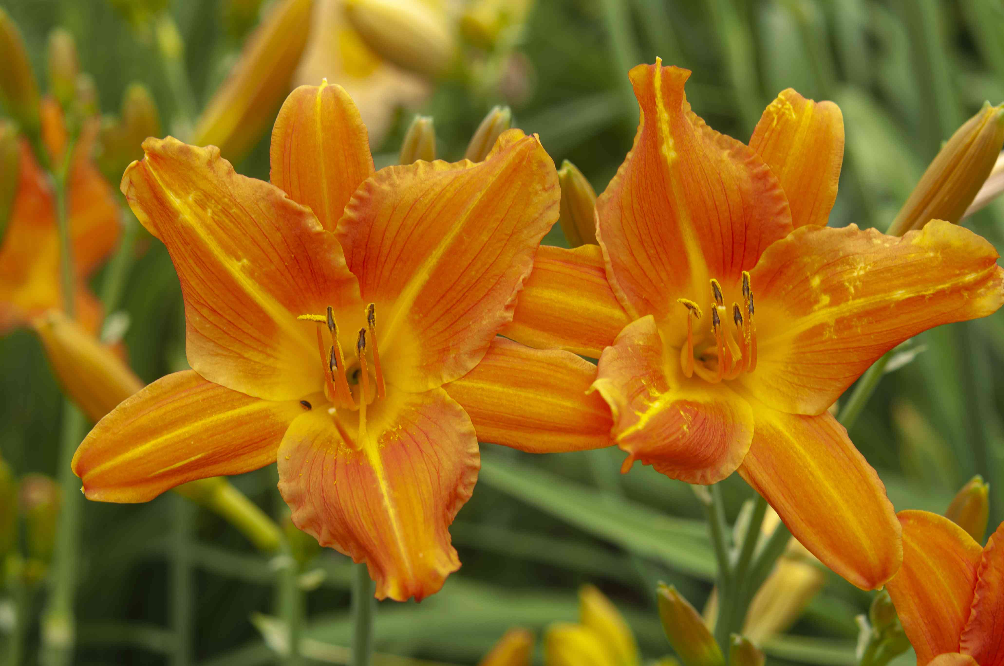 Slider daylilies with orange petals closeup