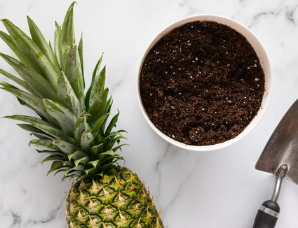 a pineapple next to a pot with soil