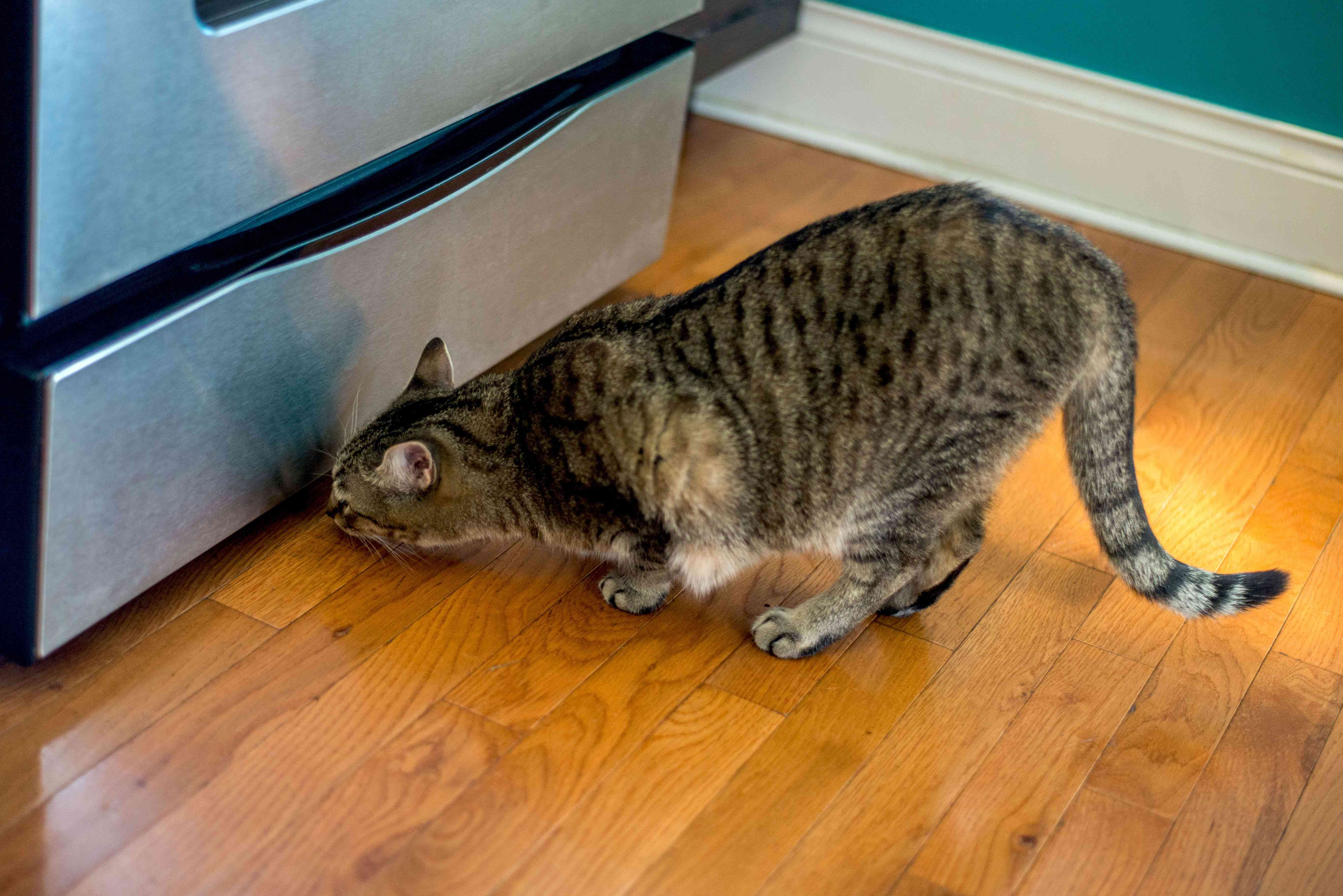Brown and black spotted cat looking under refrigerator for mice