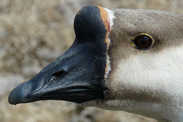 Basal Knob on a Domestic Chinese Goose