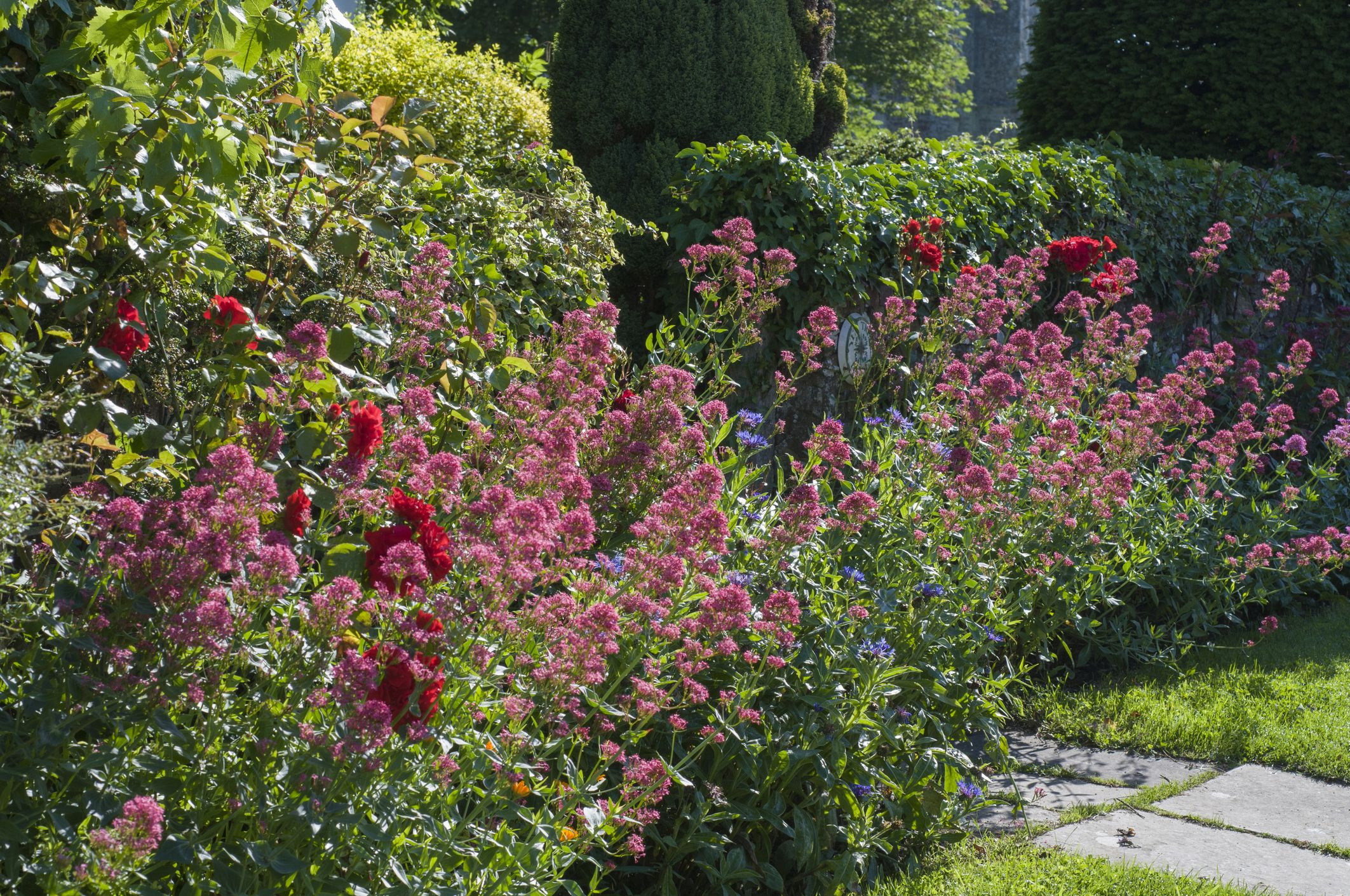 a patch of Centranthus (Red Valerian)